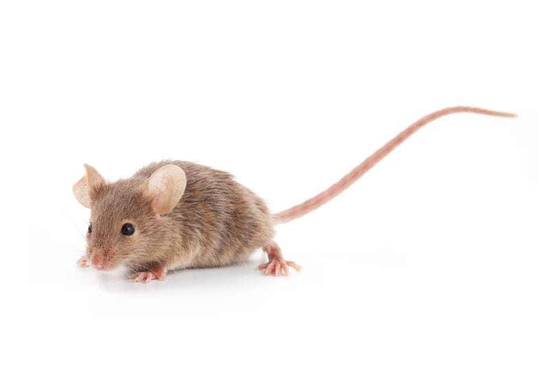 Mice have evolved immunity to poison in a very unusual way