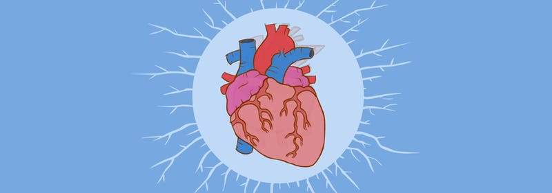 How the heart actually works
