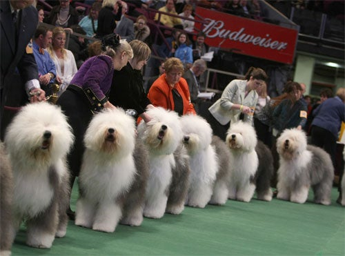 Westminster Dog Show Contestants Battle For Best Bitch