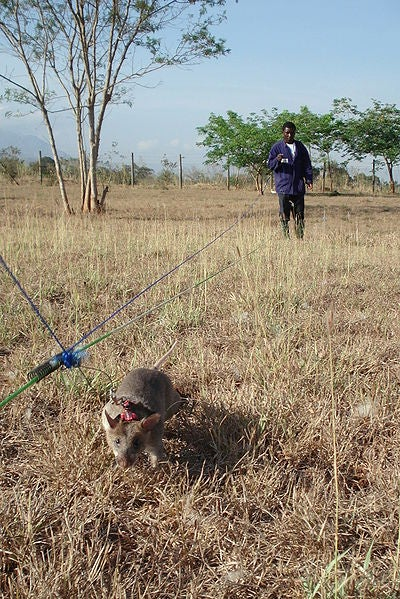 Meet the heroic rats who are trained to sniff out land mines