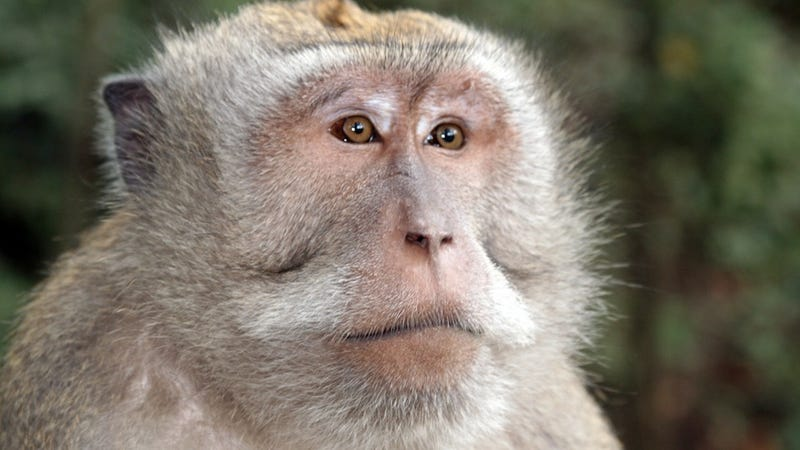 Monkey AIDS Vaccine Holds Promise for Us Humans, Too