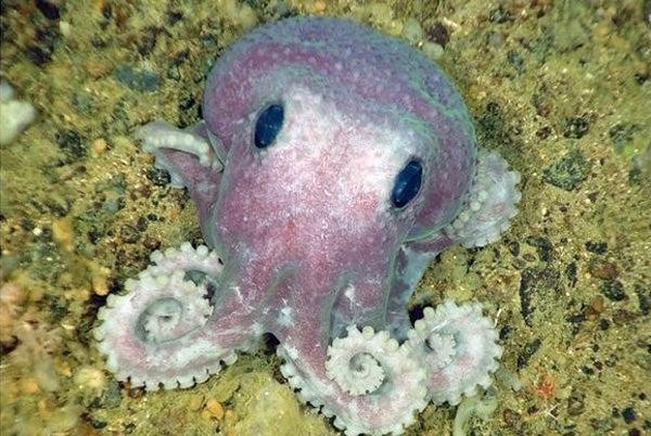 Cute Octopus Logo Cute Real Octopus
