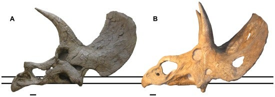 Everything you need to know about the scientific controversy that could change Triceratops forever