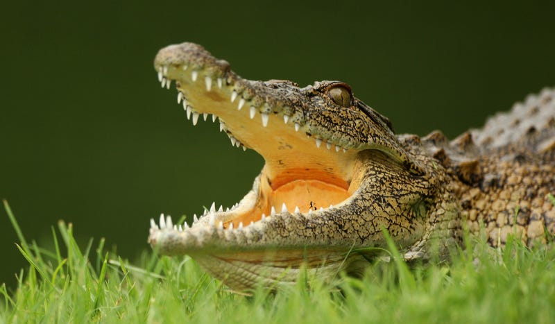 Someone Brought A Crocodile On An Australian Flight And It Got Loose