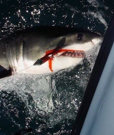 First Great White Shark Caught With Fishing Gear Tear