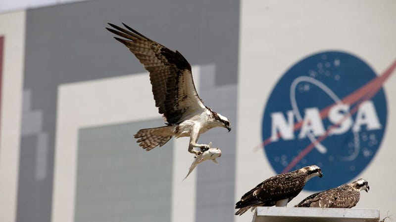Beautiful shot of ospreys at Kennedy Space Center