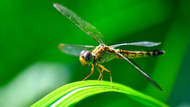 Like humans, dragonflies are capable of focusing their attention