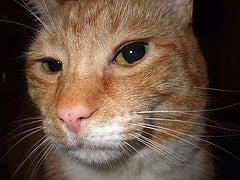 Meet The Spock Cat!