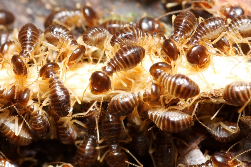 Old Termites Turn Into Self-Destructing Chemical Weapons