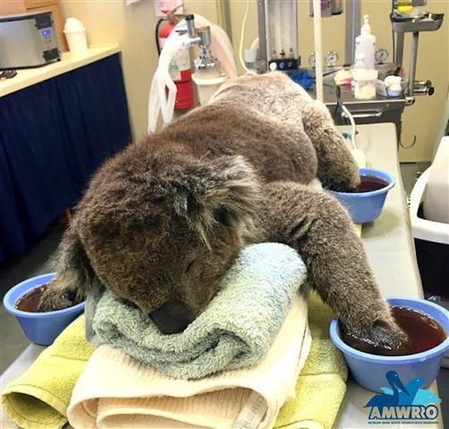 This Koala Bear Had A Pretty Fucking Rough Month, Man. Real Rough.