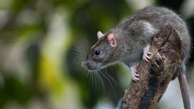 The Massive Project to Wipe Out 180 Million Galapagos Island Rats