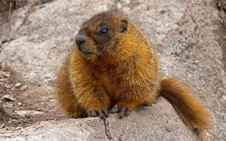 Watch out for giant marmots
