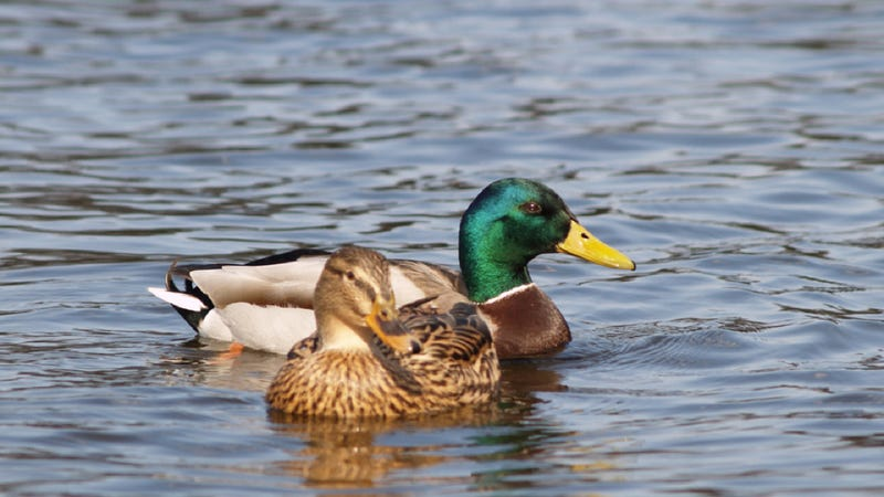 Female ducks can tell if a male's sperm contains diseases