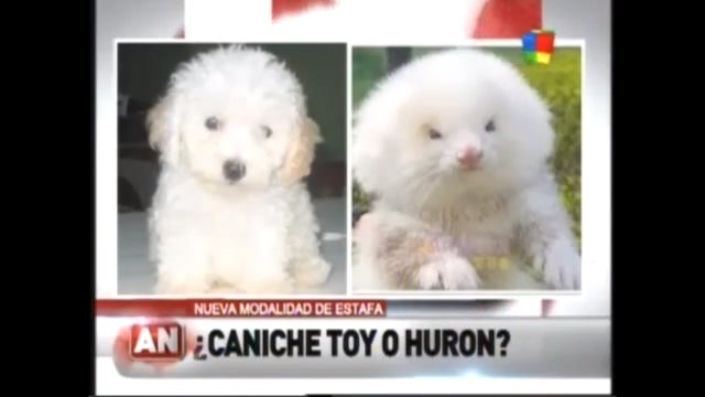 Cheap Toy Poodles Purchased in Argentinian Bazaar Turn Out to Be 'Ferrets on Steroids'