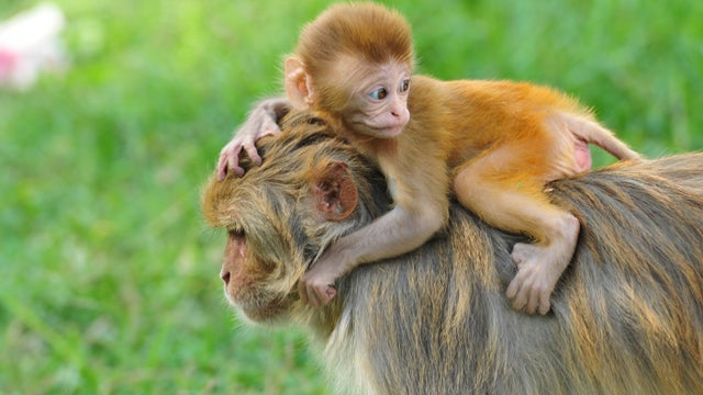 Stressed Baby Monkeys Grow Into Anxious Adults