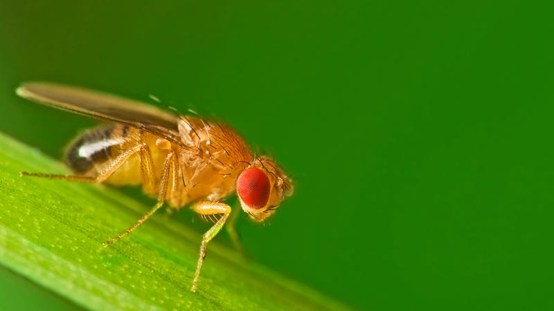 Geneticists Develop Fruit Flies That Can Count