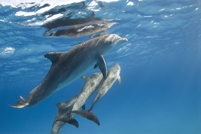 Biologists and dolphins have created a new inter-species language