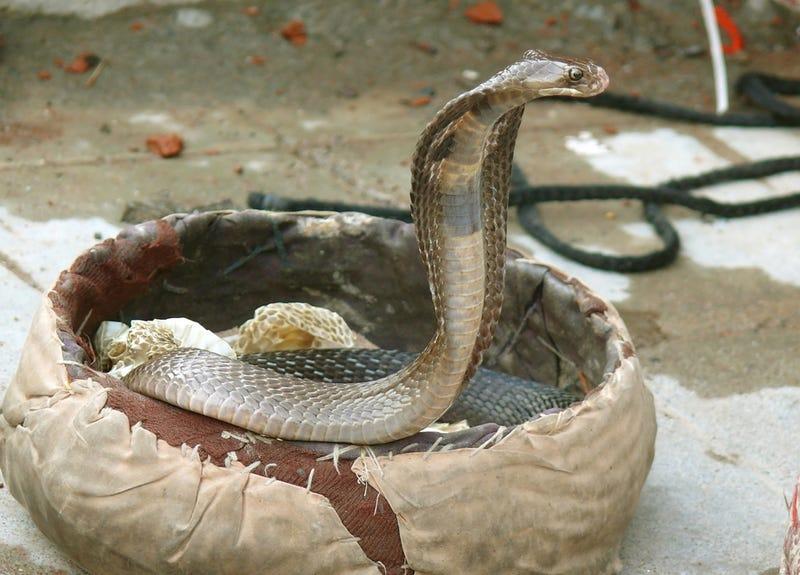 Hot New Club Drug: Poisonous Snake Bites