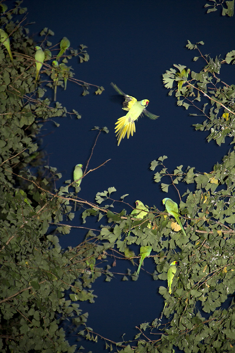 Feral Parrots of Tokyo Are a Spooky Presence Flocking Above
