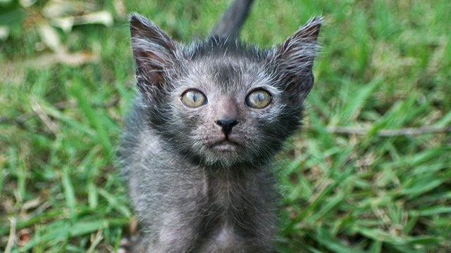 Humans create cat werewolves—and they're very cute and very spooky