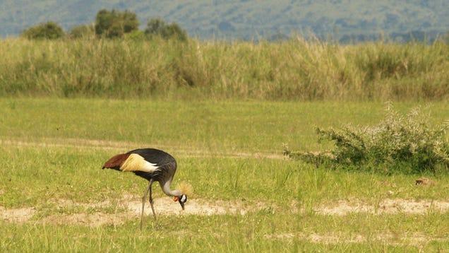 Szürkenyakú koronásdaru a Murchison Falls Nemzeti Parkban