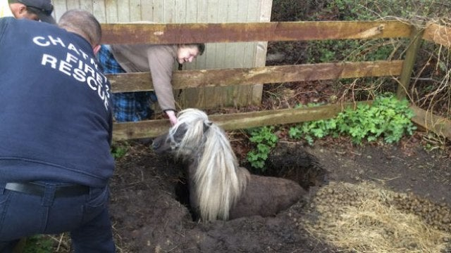 Adorable Miniature Horse Rescued From Adorable Miniature Sinkhole