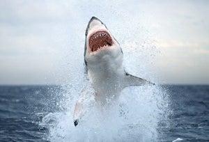 Shark Hysteria 2008!