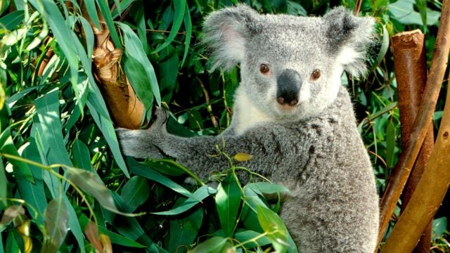 Koalas have exactly the same fingerprints as humans