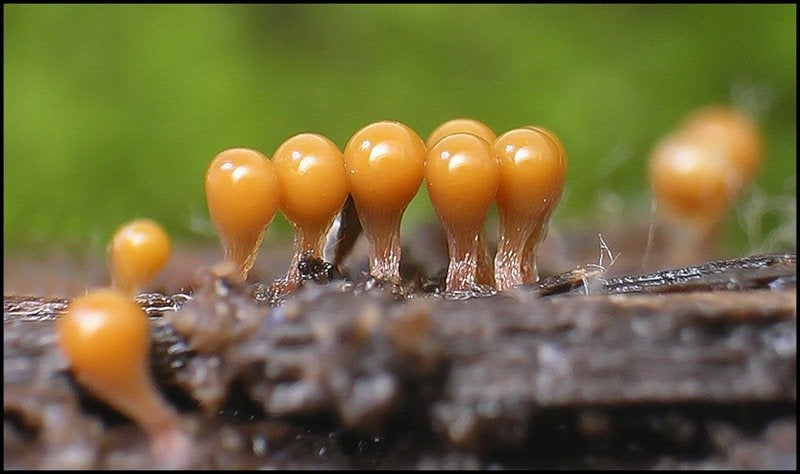 The Bizarre Collective Consciousness of Slime Mold