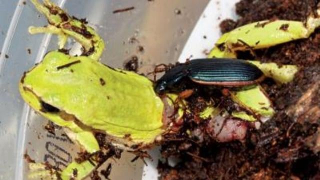 The secret war between beetles and frogs