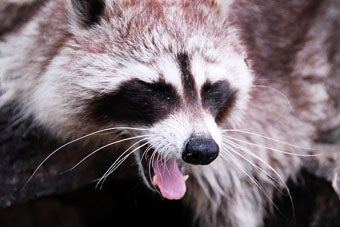 'Coon Hunters' License Plate Destined to be Misinterpreted