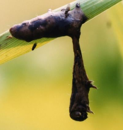 Scientists identify gene responsible for zombie caterpillars