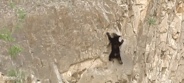 Rock climbing bears are more impressive than rock climbing humans