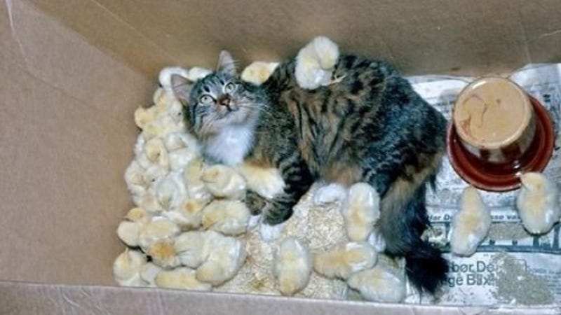 Cat Is Slowly Buried Alive in Adorable Chick Pile