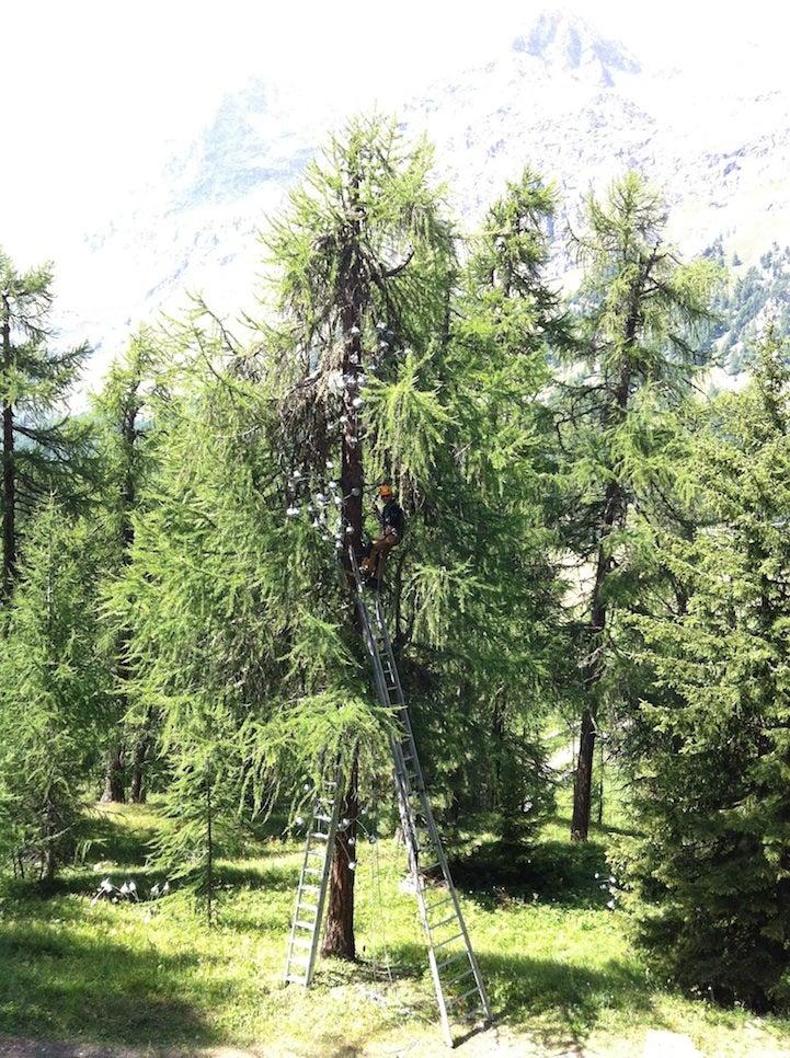 Illuminated Lamps Cascade Up a Huge Swiss Pine Tree