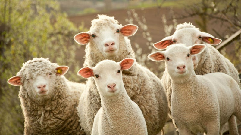 Sheep Block Road to Take Nap and Cause Adorable Traffic Jam