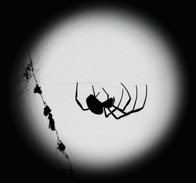 Orb web spiders become better fighters without their massive genitals