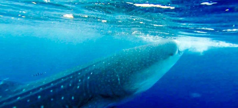 I Rode A 20,000lbs Whale Shark