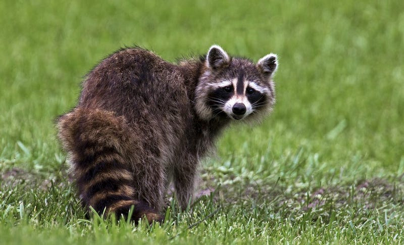 Man Hunting Pesky Raccoon Accidentally Shoots Self After Sneezing