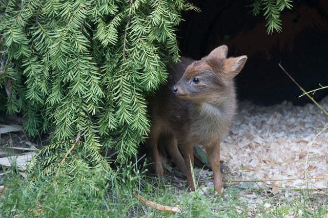 What Should We Name the World's Littlest Deer?