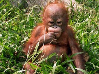 Wild Orangutans Eat Your Stock Rally