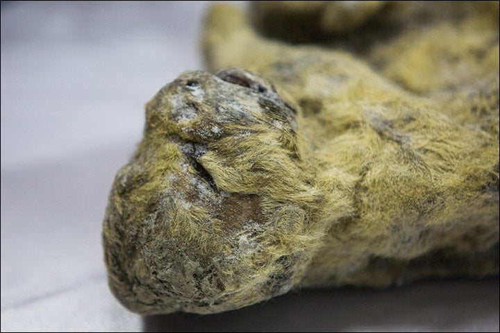 These Frozen Lion Cubs Were Just a Few Weeks Old When They Died 12,000 Years Ago
