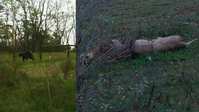 Lions, Cheetahs, Apes Escape from Ohio Farm Where Owner Was Found Dead