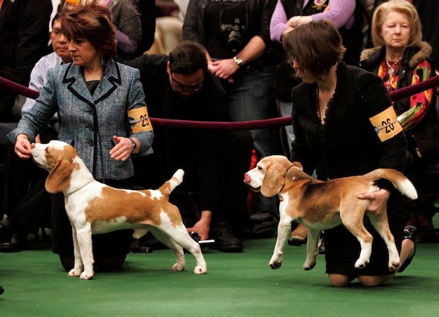Scenes Of Canine Cuteness From The Westminster Dog Show