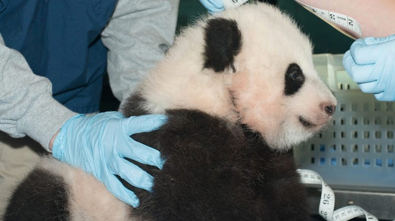The National Zoo's Adorable Panda Cub Finally Has a Name