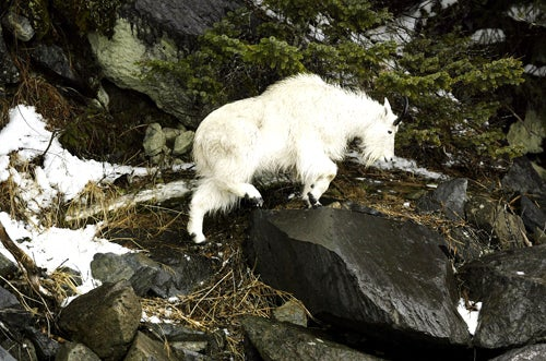 Did Years of Hazing Turn a Mountain Goat Into a Cold-Blooded Killer?