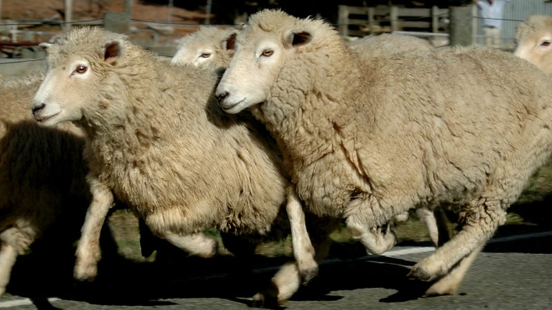 Tech-Savvy Sheep Shoot Their Shepherd a Text When a Wolf Attacks