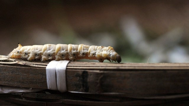 Transgenic silkworms spin glowing fluorescent silk