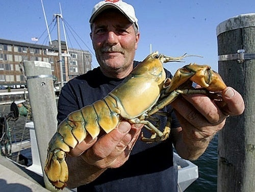 Fisherman Catches One-in-30-Million Yellow Lobster