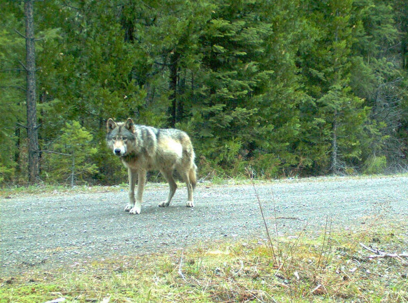 Here Are The First Wolf Pups in the Cascade Mountains Since The 1940s
